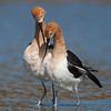 American Avocet Courtship Display