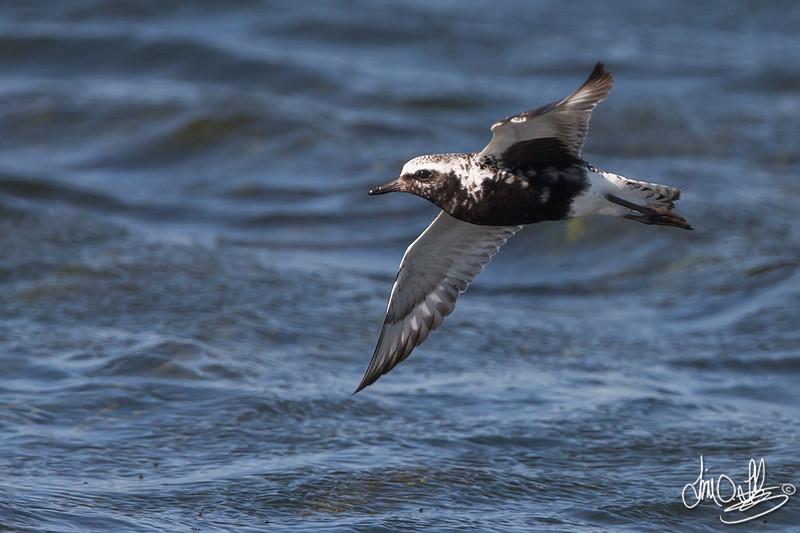 Black-bellied Plover In-Flight