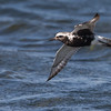 Black-bellied Plover In-Flight