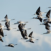 American Avocets In-Flight