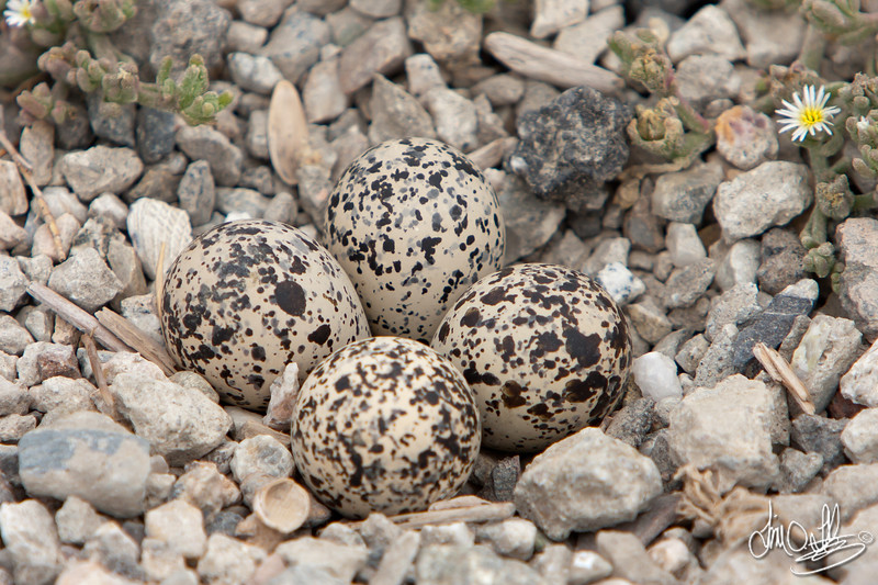 Killdeer Nest with Eggs