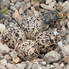 Killdeer Nest with Eggs