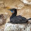 Brandt's Cormorant Nesting