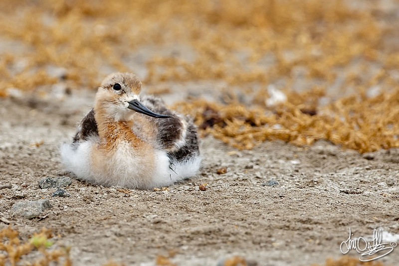 American Avocet chick