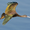 White-faced Ibis