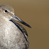 a Willet, one of the most common birds at our local wetlands Bolsa Chica Wetlands • Huntington Beach, CA