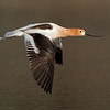 American Avocet In-flight