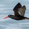 Black Oystercatcher In-Flight