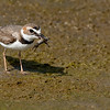 Wilson's Plover Rare visitor in Southern California Bolsa Chica Wetlands • Huntington Beach, CA