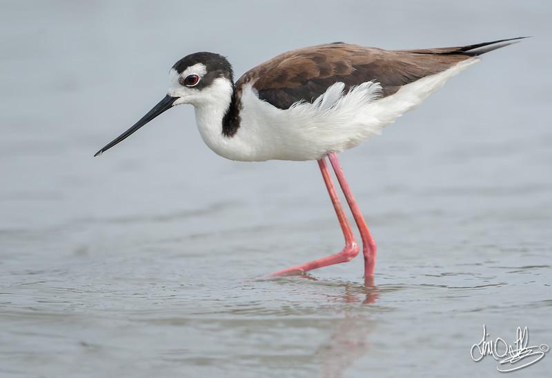 Black-necked Stilt female