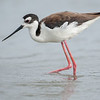 Black-necked Stilt female
