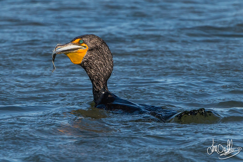 Double-crested Cormorant Swallowing a Flatfish