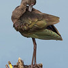 White-faced Ibis standing at waters edge