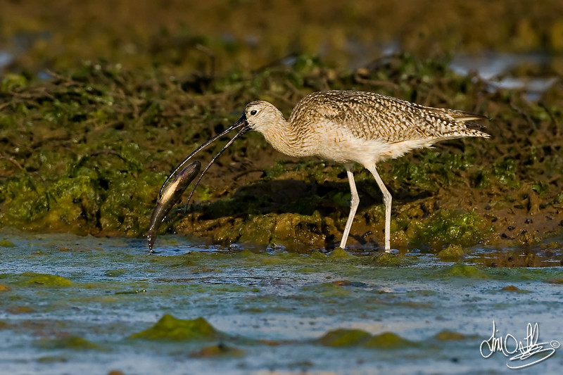 Long-billed Curlew with a Longjaw Mudsucker