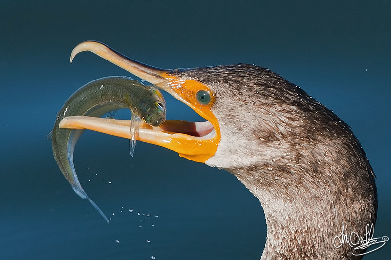 Double-crested Cormorant with a smelt