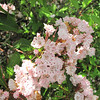 7 Mountain Laurel