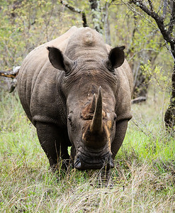 Rhino, just before he charged us
