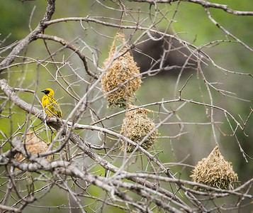 Weaver, noted for weaving these types of nests
