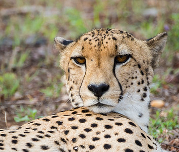 Cheetah. Fastest land animal in the world. Very sleek and reminds me of a  greyhound.