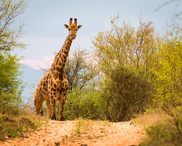 Giraffe, Makalali Game Reserve, South Africa