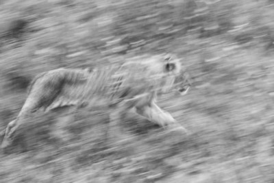 Artsy photo of lion on the move