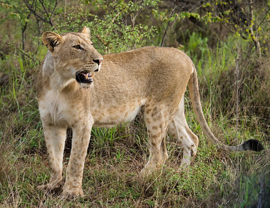 Adult female lion