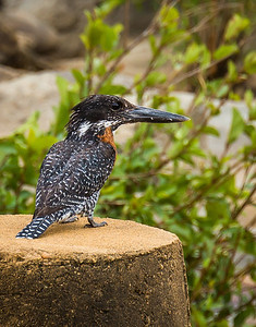 Giant kingfisher, Makalali Game Reserve
