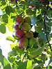 KINGSTON PENINSULA -  GORHAM'S BLUFF - Bostwick apple orchards- What a nice cluster of Mackintosh