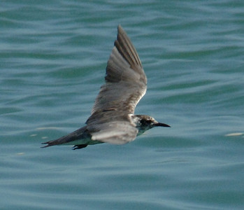 Black tern<br /> Padre Island jetties<br /> 25 June 2010