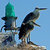 Great blue herons at nest<br /> Padre Island jetties<br /> 25 June 2010