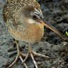 Clapper rail<br /> South Padre Island<br /> 24 June 2010