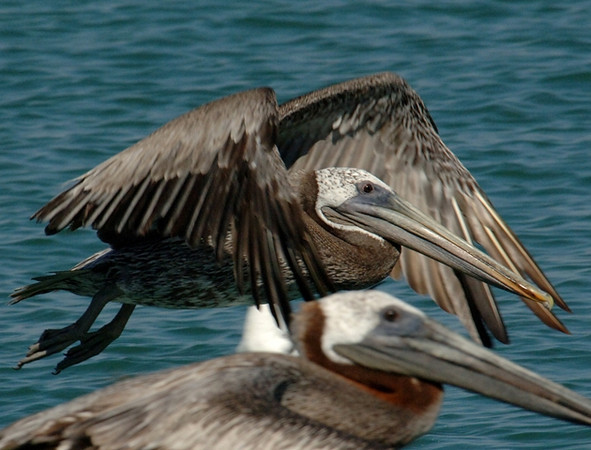Brown pelican<br /> Padre Island jetties<br /> 25 June 2010
