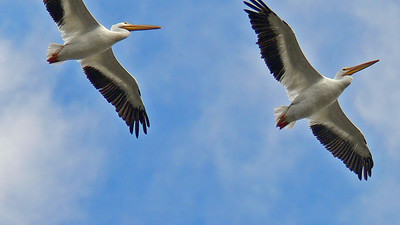 American White Pelicans flying overhead