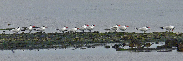 Caspian Terns all lined up