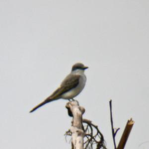 Gray Kingbird (digiscoped)
