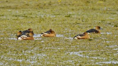 Fulvous Whistling-Ducks