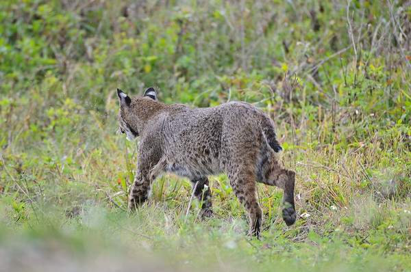 A bobcat wandered by behind me (between me and the road, I was by the pond).  He paid no attention to the people at all.  I kept this shot mostly because of how clearly it showed the tail and ears and body pattern.
