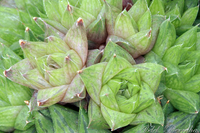 HAWORTHIA CYMBIFORMIS VARIEGATA Family: Aloaceae Category: Cactus & Succulent Origin: South Africa