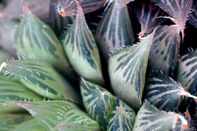 HAWORTHIA CYMBIFORMIS VARIEGATA Family: Aloaceae Category: Cactus & Succulent Origin: South Africa