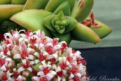 CRASSULA Bride's Bouquet Family: Crassulaceae Category: Cactus & Succulent Origin: South Africa