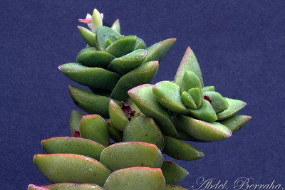 CRASSULA Bride's Bouquet Family: Crassulaceae Category: Cactus & Succulent Origin: South Africa