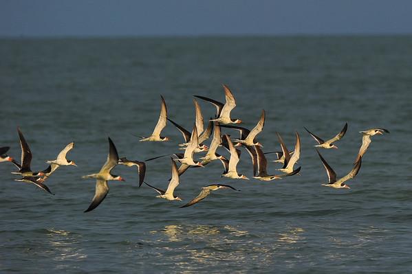 SUNCOAST SEABIRD SANCTUARY 2015