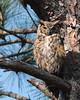 Great horned owl Honeymoon Island