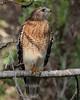 Red-shouldered hawk Corkscrew Preserve