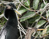 Anhingas nesting Everglades NP