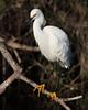 Snowy egret Everglades NP
