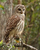 Barred owl adult Corkscrew March 2009 copy