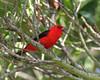 Scarlet tanager Ft DeSoto