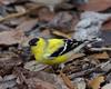 American goldfinch backyard March 2009
