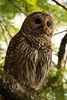 Barred owl fledged Corkscrew March 2009